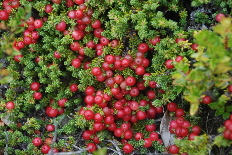 Водяника красная или красноплодная Empetrum rubrum, Empetrum atropurpureum фото