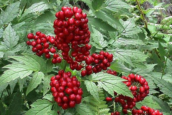 Воронец красный или красноплодный Actaea rubra фото в саду