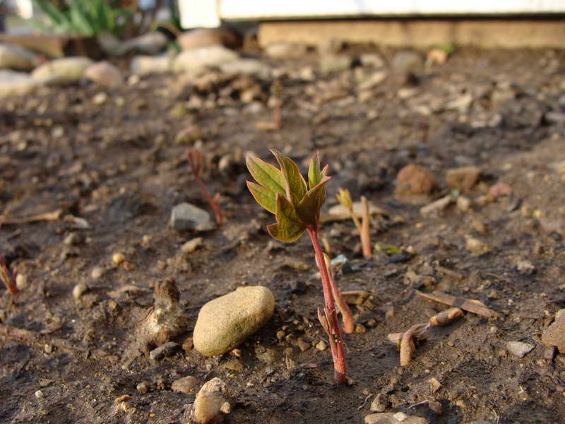 Всходы древовидного пиона из семян фото