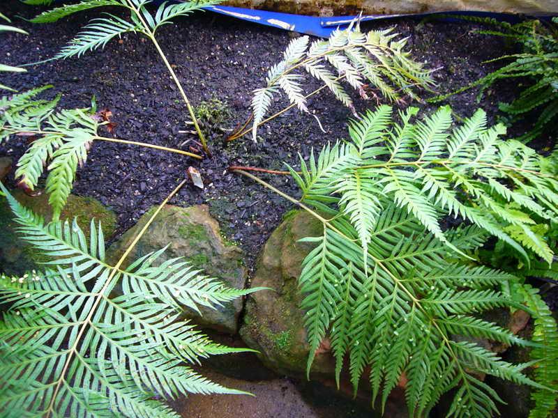 Вудвардия посадка и уход На фото вид Woodwardia unigemmata