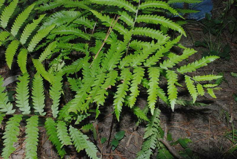 Вудвардия виргинская Woodwardia virginica фото