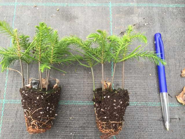 Выращивание араукарии из семян фото рассады