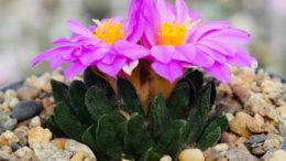 Выращивание ариокарпусов из семян фото