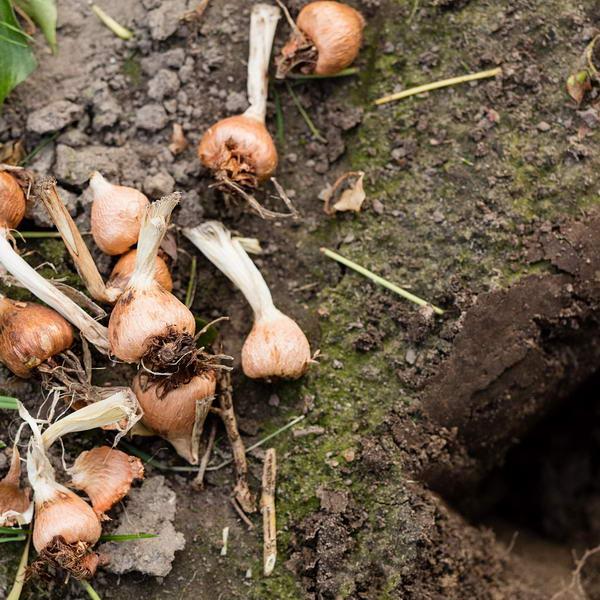 Выращивание ацидантеры в открытом грунте и домашних условиях фото