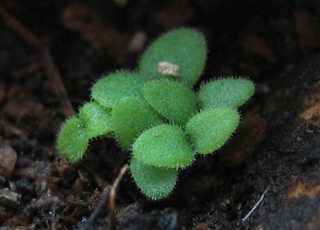 Выращивание бакопы из семян в домашних условиях