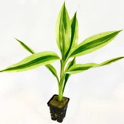 Выращивание бамбука из семян в домашних условиях фото