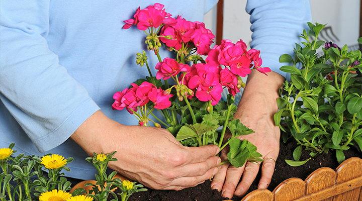 Выращивание домашней герани Размножение герани черенками в домашних условиях фото