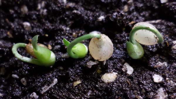 Выращивание гемантуса из семян фото всходов