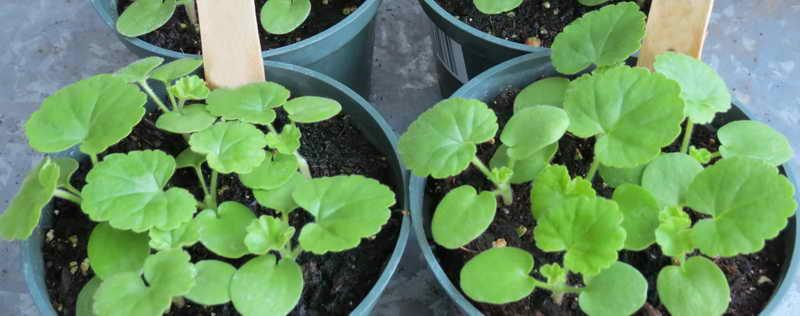 Выращивание герани из семян фото рассады