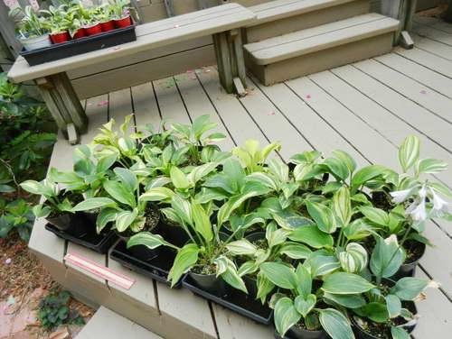 Выращивание хост из семян Фото рассады