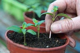 Выращивание кольквиции из семян Фото всходов
