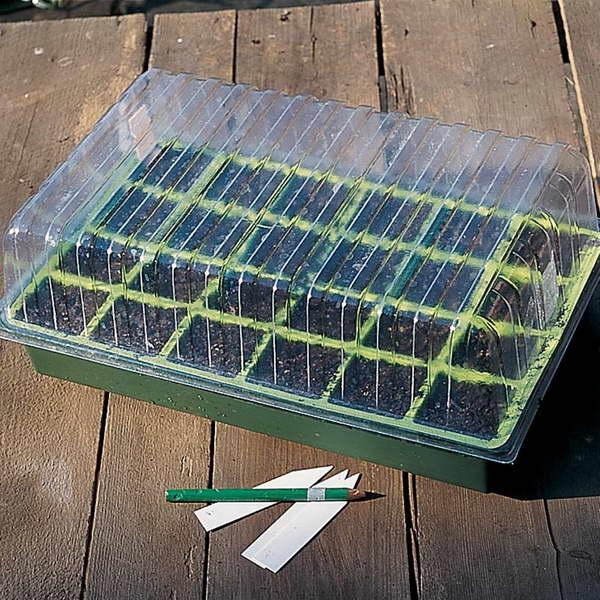 Выращивание мыльнянки из семян на рассаду фото
