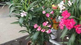 Выращивание олеандра в домашних условиях Олеандр цветок уход в домашних условиях