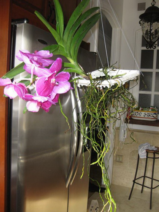 Выращивание орхидеи ванда с открытой корневой системой фото