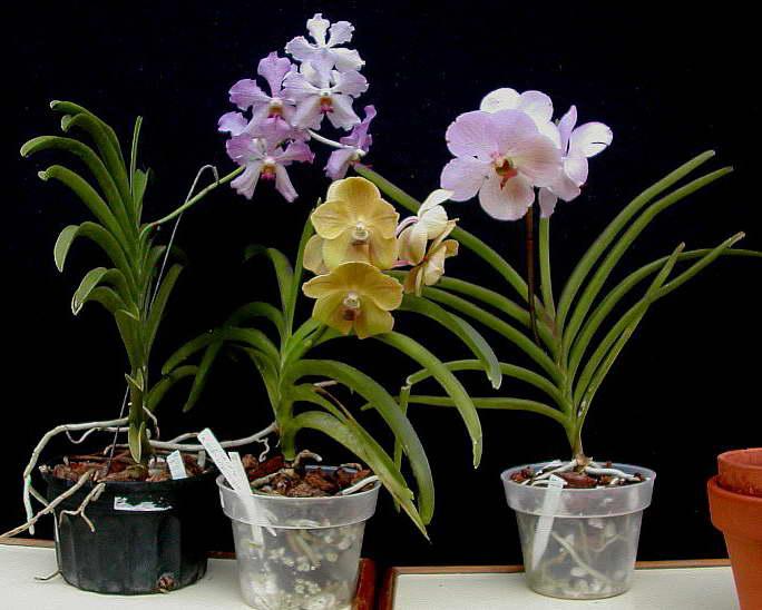 Выращивание орхидеи ванда в горшке с субстратом фото