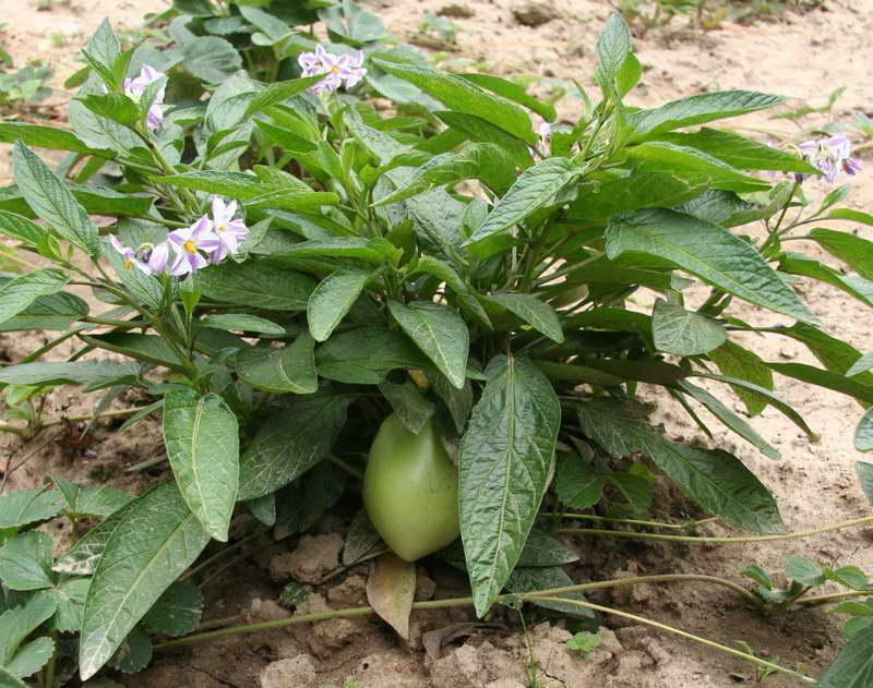 Выращивание пепино в открытом грунте