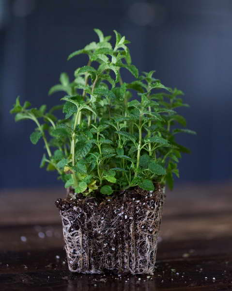 Выращивание рассады мяты На фото рассада готова к высадке
