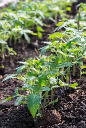 Выращивание рассады томата Роза ветров в парнике фото
