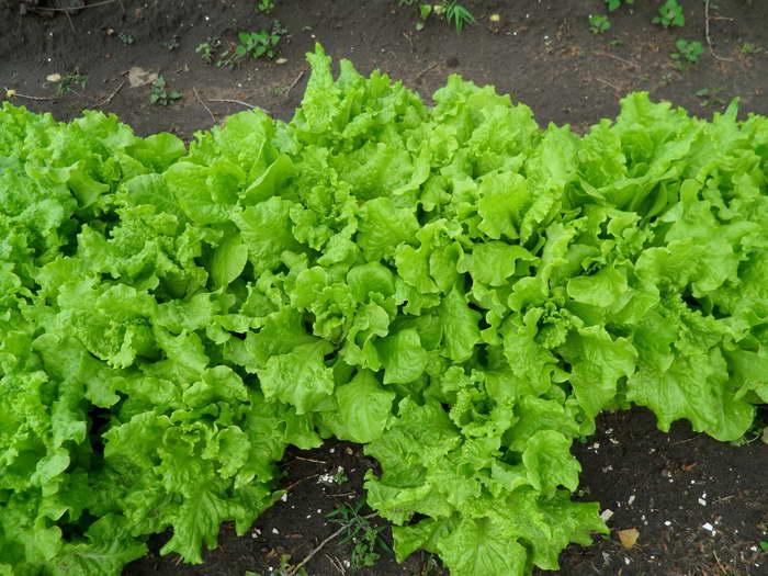 Выращивание салата в открытом грунте Правильный уход
