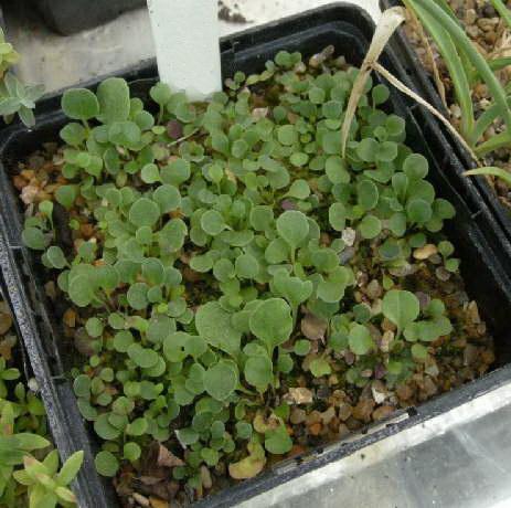 Выращивание шаровницы из семян фото рассады