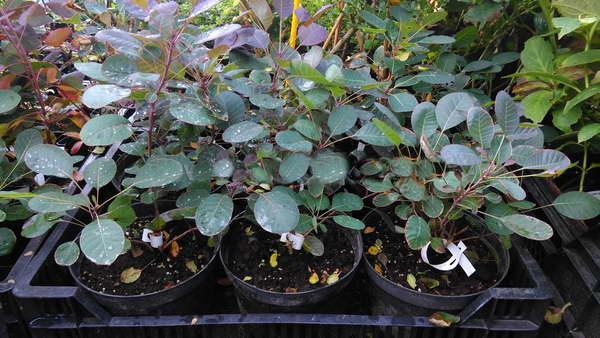 Выращивание скумпии из семян фото рассады
