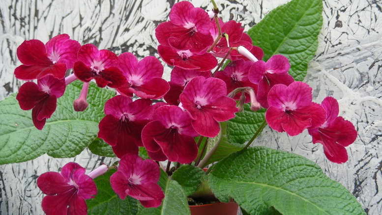 Выращивание стрептокарпусов в домашних условиях Фото разновидностей