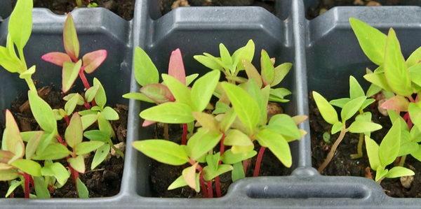 Выращивание целозии из семян в домашних условиях фото всходов
