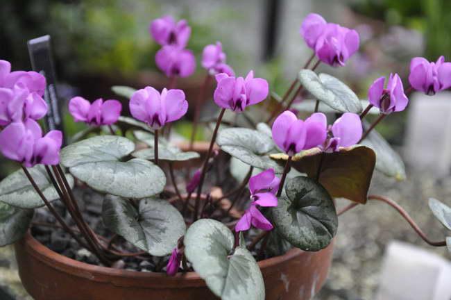 Выращивание цикламена в домашних условиях фото