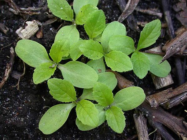 Выращивание ворсянки из семян фото