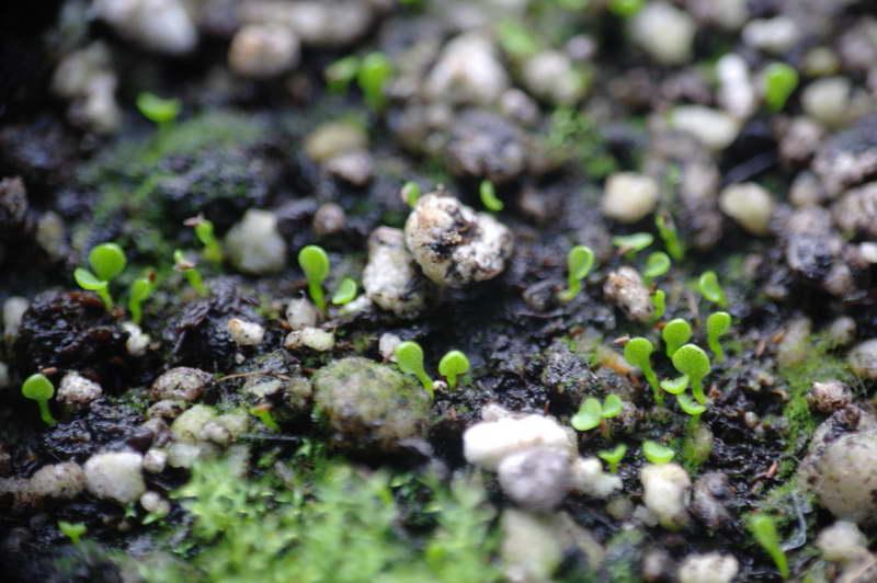 Выращивание жирянки из семян фото всходов