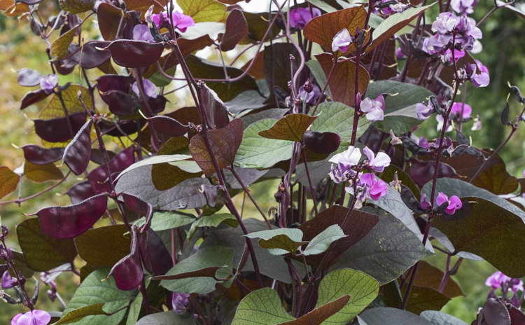 Вьющаяся сирень пурпурная Lablab purpureus в саду фото