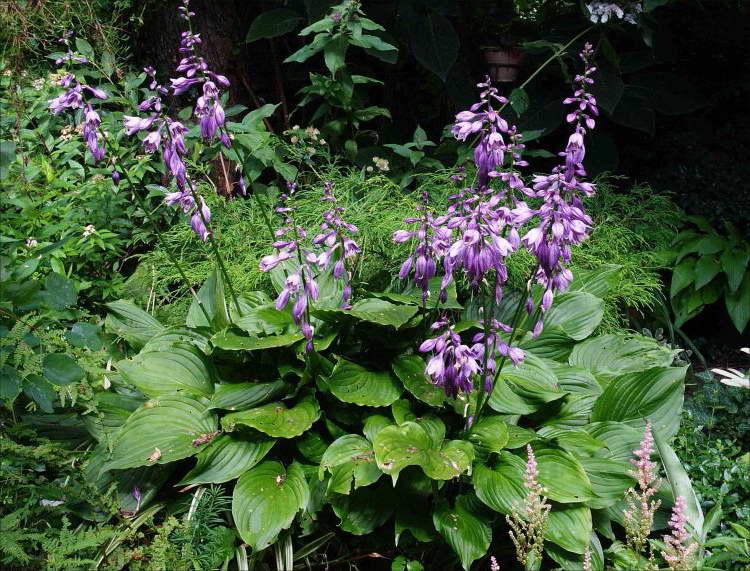 Вздутая хоста Hosta ventricosa фото в саду