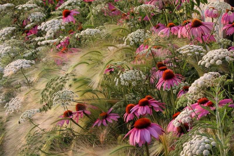 Ячмень гривастый в ландшафтном дизайне фото с цветами