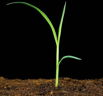 Ячмень гривастый выращивание из семян на рассаду фото