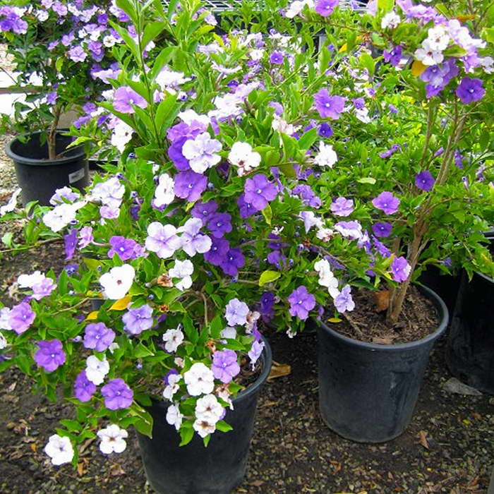 Ядовитые домашние цветы Брунфельсия