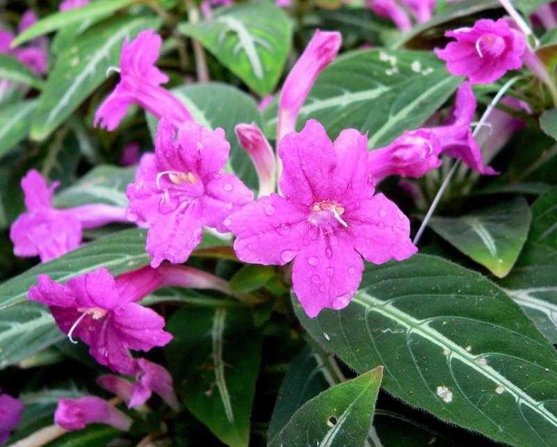 Ядовитые домашние цветы Руэллия или диптеракантус
