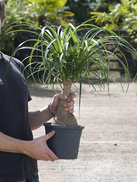 Ядовитые растения в доме Нолина или слоновая пальма