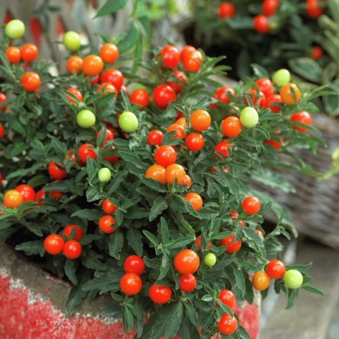 Ядовитые растения в вашем доме Паслен ложноперечный