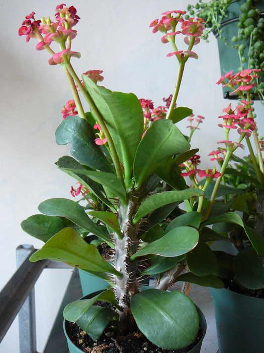 Ядовитый цветок эуфорбия или комнатный молочай