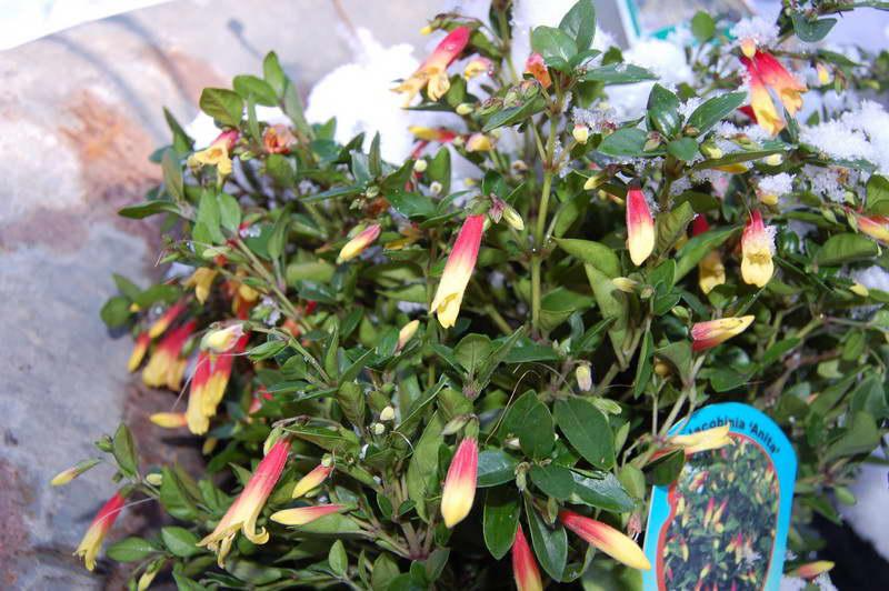 Якобиния anita мелкоцветковая фото