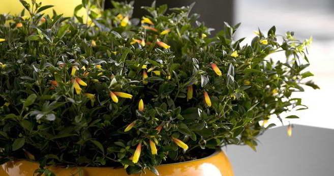 Якобиния мелкоцветковая уход в домашних условиях фото