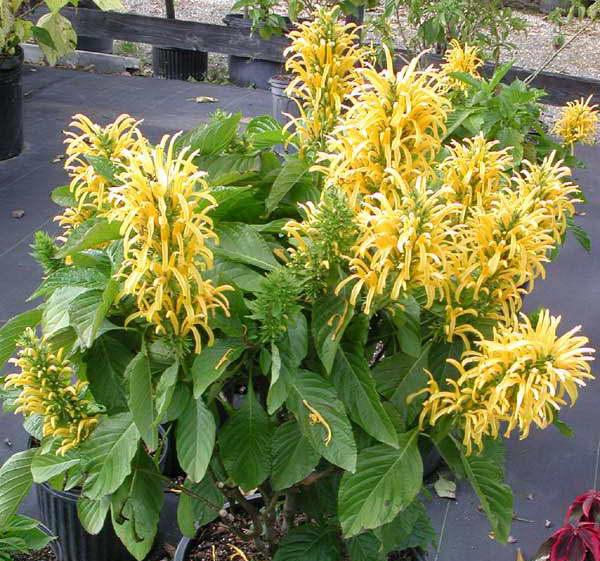 Якобиния золотистоцветковая или желтая justicia aurea фото