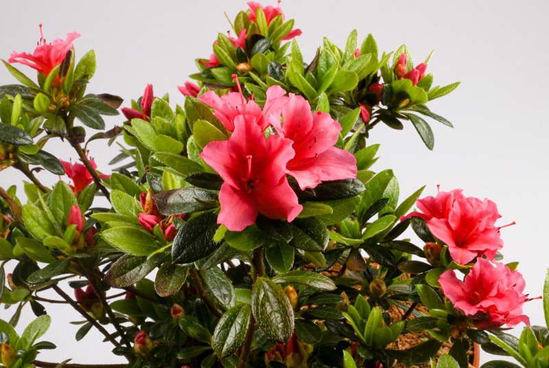 Японская азалия или рододендрон тупой Rhododendron obtusum фото цветов
