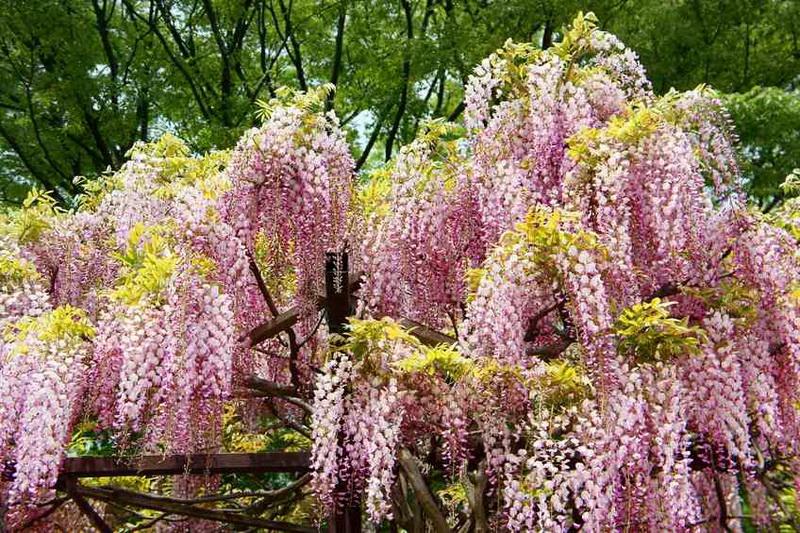 Японская вистерия Wisteria floribunda 'Honbeni' (syn. 'Pink Ice')