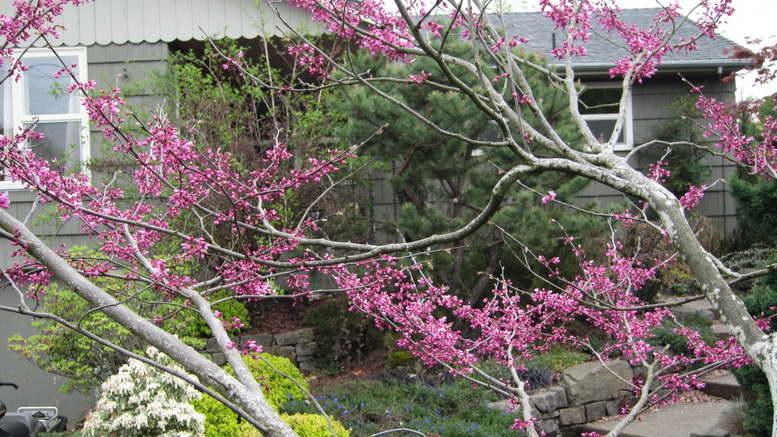 Японский багряник дерево зимостойкость и выращивание в Подмосковье