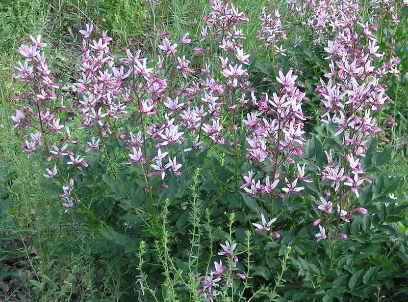 Ясенец голостолбиковый или купина неопалимая Dictamnus gymnostylis фото цветов