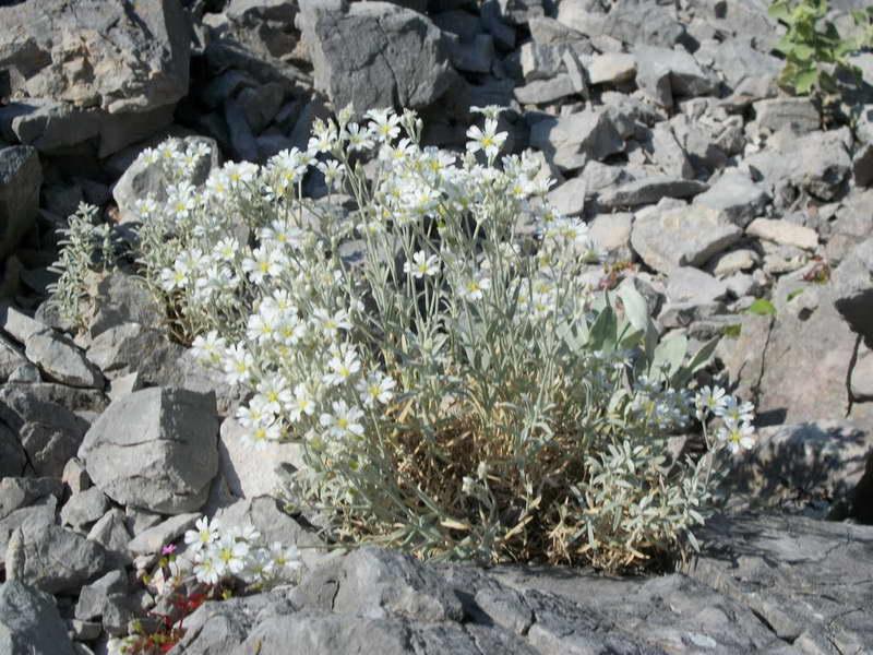 Ясколка белоснежнейшая Cerastium candidissimum фото