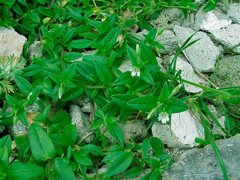Ясколка обыкновенная или ключевая, костенцовая Cerastium fontanum фото