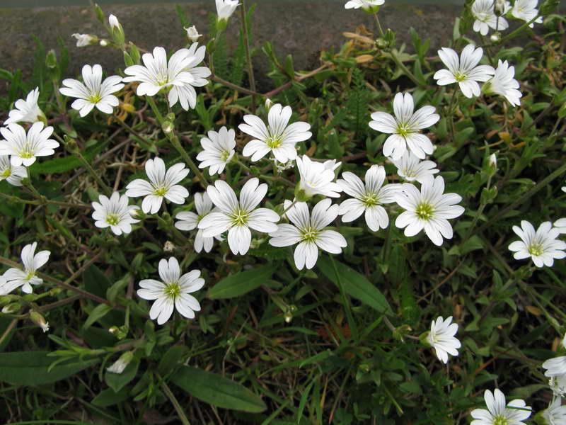 Ясколка полевая Cerastium arvense фото цветов