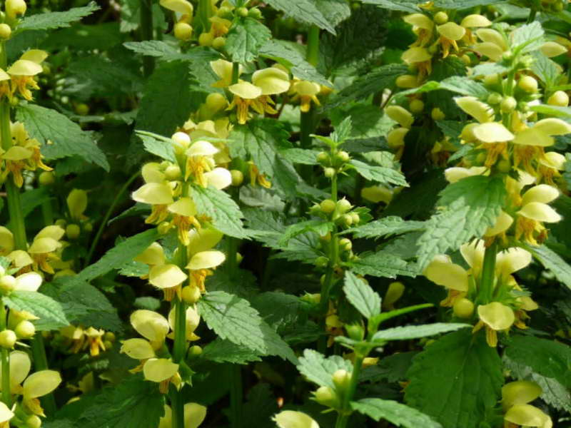 Яснотка зеленчуковая или желтая Lamium galeobdolon фото